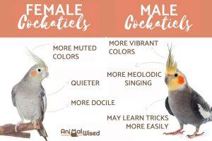 تشخیص جنسیت عروس